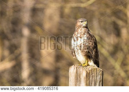Buzzard In The Forest. Sitting On A Wooden Post. Wildlife Bird Of Prey, Buteo Buteo, Looking Left. W