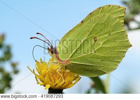 Beautiful Greenish-yellow Butterfly Lemongrass, Or Krusinnitsa (lat.gonepteryx Rhamni) On A Yellow F