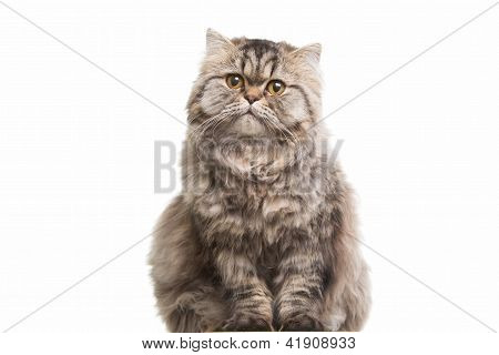 Grey Persian Kitten Sitting On Isolated White White