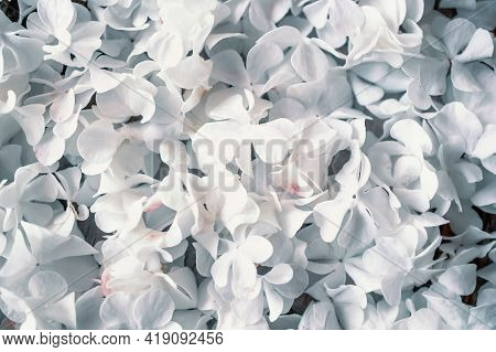 Delicate Natural Background Of White Hydrangea Flowers. Textured Inflorescences Of Delicate Small Wh
