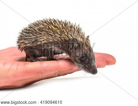 Young European hedgehog on a human hand