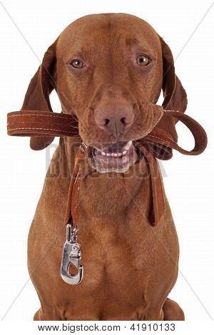 Dog Ready To Take A Walk