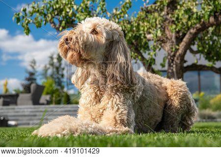 Obedient Goldendoodle Dog Relaxing In Residential Backyard Garden.