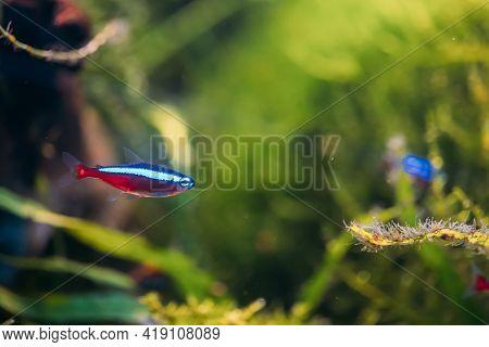 Cardinal Tetra Fish Swimming In Water. Cardinal Tetra Fish Swimming In Water.