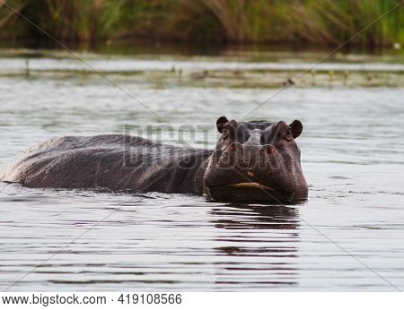 One Hippopotamus Swims In The River. African Animal. Summer Photo In The Wild.