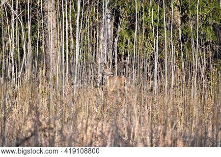 Roe Deer Camouflaged In A Springtime Forest
