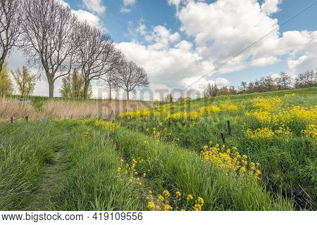 Yellow Flowering Rapeseed On The Slope Of An Embankment And Along The Edge Of A Ditch In A Dutch Pol