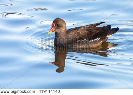 Common Moorhen Swimming On Blue Water. Waterhen Or Swamp Chicken Is Wading Bird With Black Plumage A