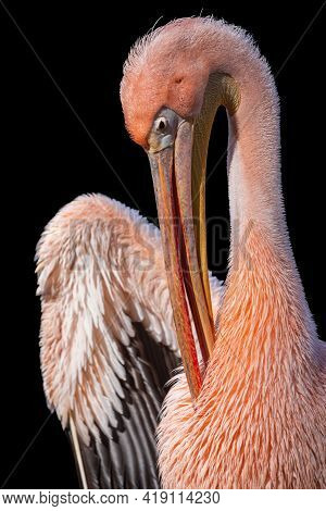 Great White Pelican With Pink Plumage Isolated On Black Background. Close-up Portrait Of The Rosy Pe