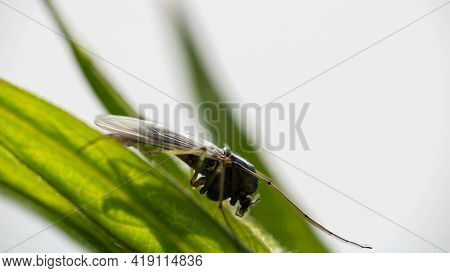 Flying Insect Mosquito, Gnat Sitting On Green Leaf, Isolated On White Background