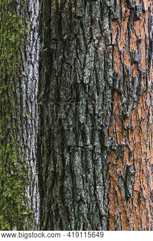 Mossy And Peeled Tree Bark Tеxture Close-up. Two Tree Trunks With Rough Bark Covered With Lichen And
