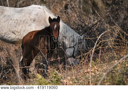 Grazing Thoroughbred Horses In The Countryside. Large Thoroughbred White And Gray Horse And Small Br