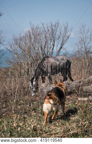 Gray Thoroughbred Young Stallion Grazes In Field In Forest Against Clear Blue Sky. Beautiful Horse I