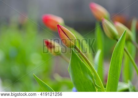 Tulip Buds. The Closed Bud Of A Red Tulip, Spring Flowers. The Concept Of Growing Flowers. Ready To