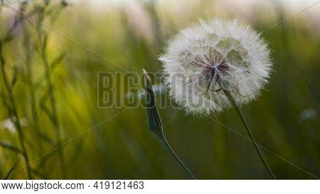 Tender Dandelion In A Field In Green Grass - Tragopogon Pratensis. Dandelion Seed Head In Green Mead
