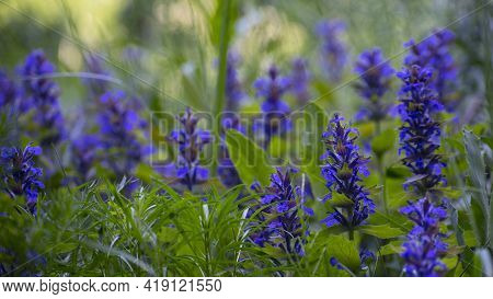 Flowers Sage. Ajuga Reptans, Or Carpet Horn, Is A Blue-flowered Perennial Plant That Grows In Medite