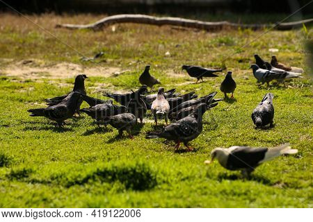 Landscape. Birds, Pigeons Gathered In A Pack. They Walk Along The Soil With Green Grass And Peck Cru