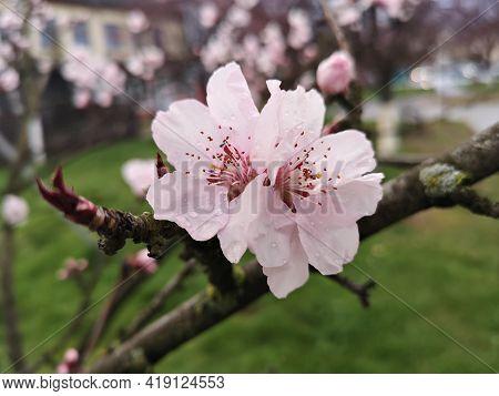 Blossom Trees - Flower Details - Pink Cherry Blossom