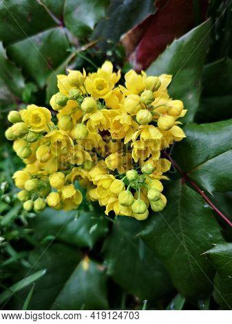 Flowers In The Garden  - Berberis Aquifolium, Pursh  Berberidaceae,  Mountain-grape