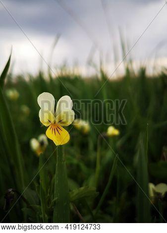 European Field Pansy In The Meadow.  Viola Arvensis Murray ,violaceae.