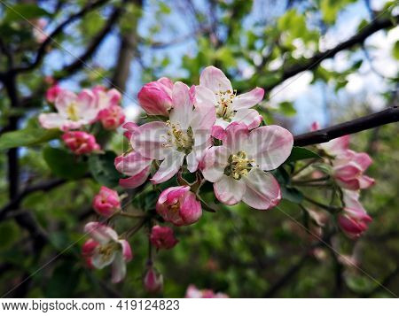 Blossom Trees - Flower Details - Pink Apple Blossom