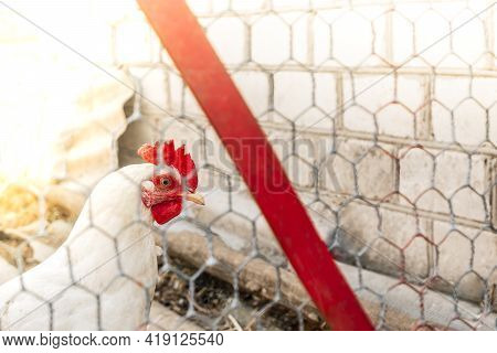 Young White Chicken. Looks Through The Wire Netting. Chicken Behind A Metal Gray Fence Net On A Farm