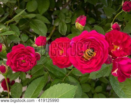 Climbing Rose Plant Blossom In The Spring With A Bees Entering And Collecting Nectar From Flowers