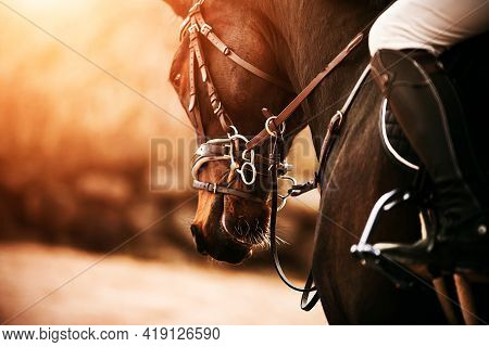 Portrait Of A Beautiful Bay Horse With A Bridle On Its Muzzle And A Rider In The Saddle, Which Are I