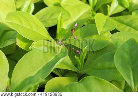 Tiny Pink Buds On A Limon Plant Between Green Leaves