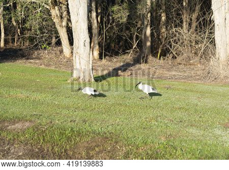 White Ibis Forsaking About For Food Near A Drain In Early Morning Light Near Stand Of Trees In Queen