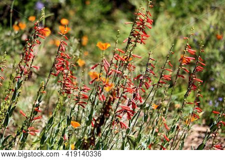 Chaparral Plants And Wildflowers During Spring Taken At A Grassy Field In The Rural Southern Califor