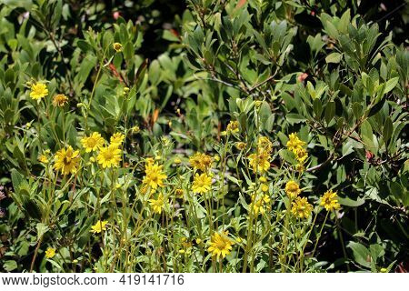 Lush Plants On A Hedge Besides Flower Blossoms During Spring Taken At A Chaparral Woodland In A Resi