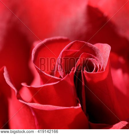 Rosa 'mister Lincoln' Hybrid Tea Rose In Bloom. Springtime In Northern California, Usa.