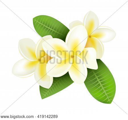 Realistic Plumeria. Frangipani Tropical Plants With White And Yellow Petals. Isolated Blooming Flowe