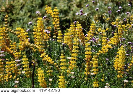 Lush Chaparral Plants With Spring Wildflower Blossoms Taken On A Prairie At A Grassy Field In The So