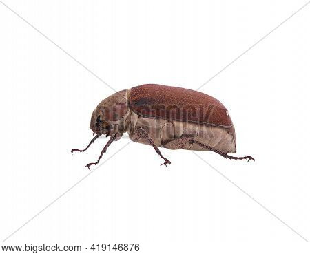 Dung Beetle Bug Isolated On White Background