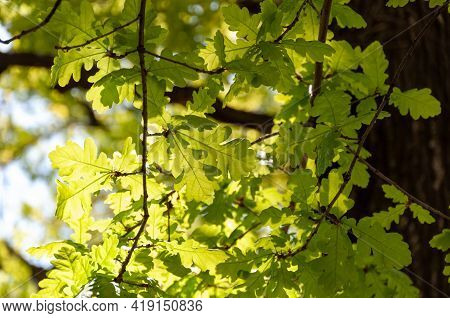 Bright Green Young Spring Oak Leaves Backlit. Backlight Of Green Oak Leaves. Oak Leaves In Sunlight