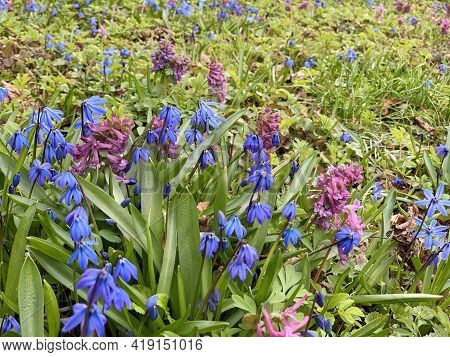 Early Spring, First Flowers, Blue Snowdrops, Forest Cops And Purple Hyacinths, Green Leaves