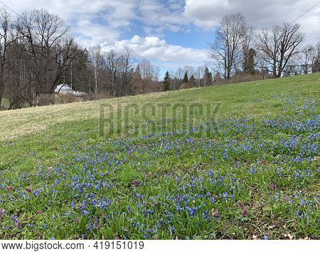Early Spring, The First Flowers, Blue Snowdrops, A Forest Grove And Purple Hyacinths Grow In A Clear