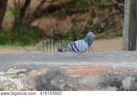 Close- Up Of A Full Body Pigeon Walking On Wall At Sunny Days , Beautiful Pigeon Photography .