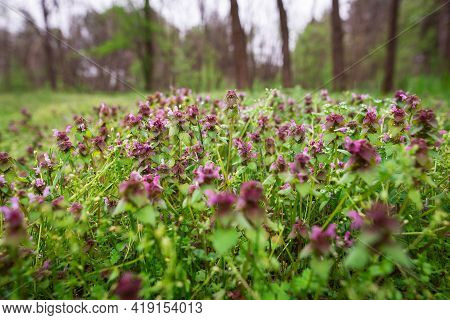 Purple Flowers In Pine Forest Nature. Forest Nature In Early Spring. Purple Flowers Close Up In Natu