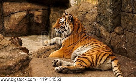 Siberian Tiger Lies On A Stone Slab. The Tiger Is Basking In The Sun. The Concept Of Predators And W