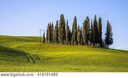 Group Of Cypress Trees In Hills Of Tuscany In The Morning Sun, Italy, April.