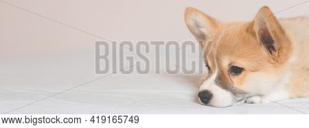 Pembroke Welsh Cute Little Sleepy Corgi Puppy Is Lying On The Couch. Top Horizontal View Copyspace P
