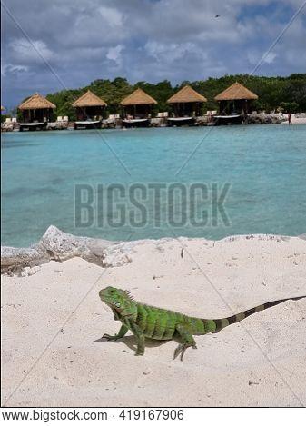 Aruba Beach With Green Iguana At The Beach, Flamingo Beach In Aruba Island Caribbean. Green Iguana