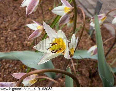 Close Up Shot Of Flowering Plant With Star-shaped Flowers - Turkestan Tulip (tulipa Turcestanica). I