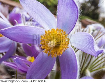 Macro Shot Of Bell-shaped, Purple Flower Of Eastern Pasqueflower Or Cutleaf Anemone (pulsatilla Pate