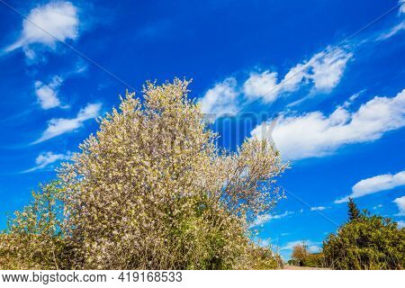 Spring in Israel. Light spring clouds over blooming land. White-pink olive tree flowers. Lush spring olive tree flowering is the basis of olive oil production. Ecological and photo tourism concept