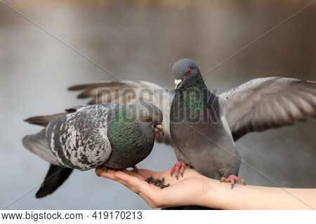 Two Hungry Pigeon
