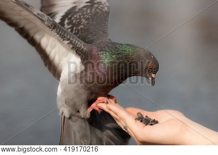 Pigeon On Hand Close Up